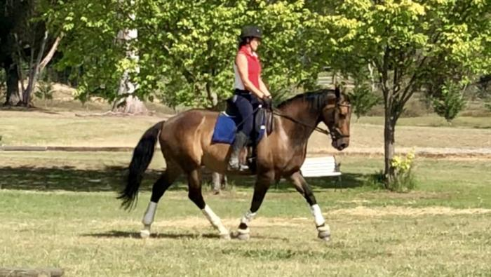 16.2h Warmblood X Gelding