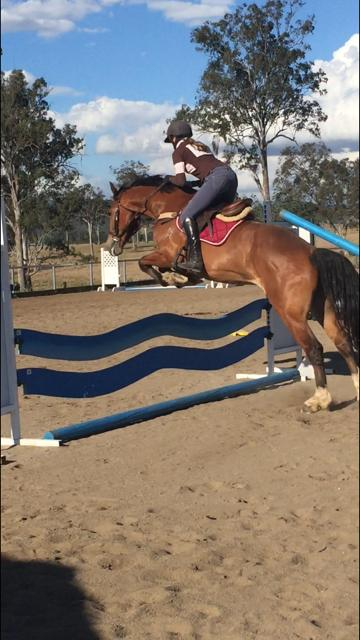 Welsh Cob 15.2hh 4yr old