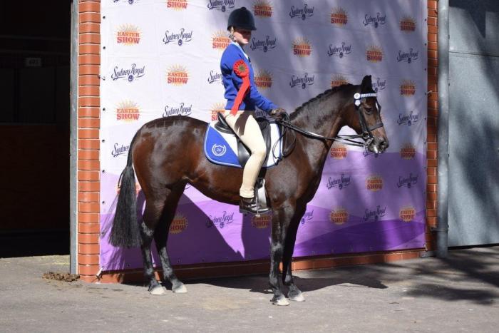 Quiet, Competitive Pony Club Mount / Allrounder