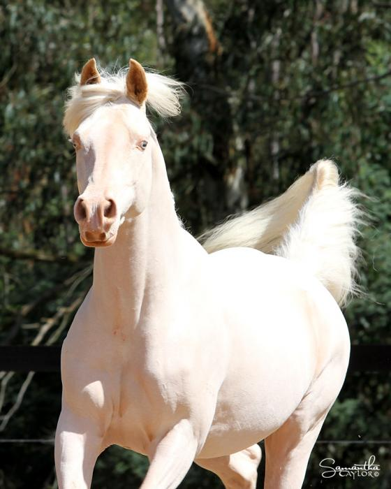 Cremello Stallion for sale OPEN TO OFFERS