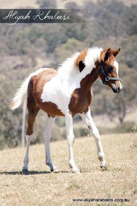 Top Quality Pinto Filly
