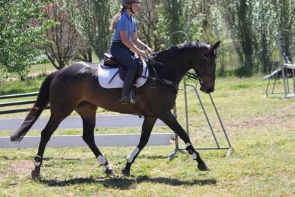 Beautiful Warmblood mare with top pedigree