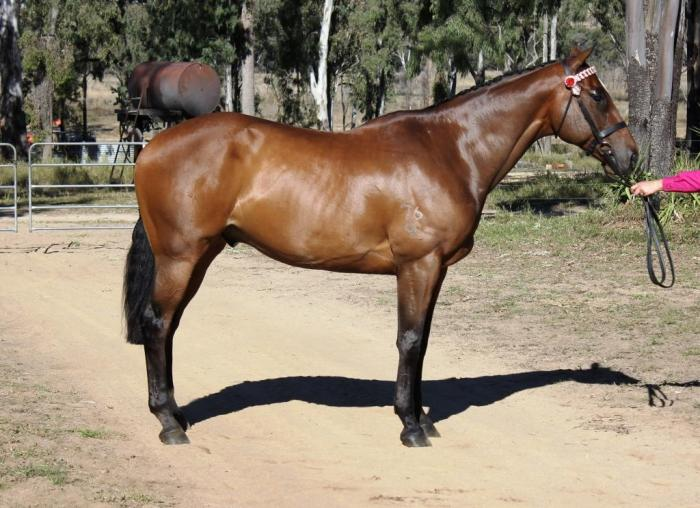 """Rooms On Fire"" 9yr Old TB Gelding"