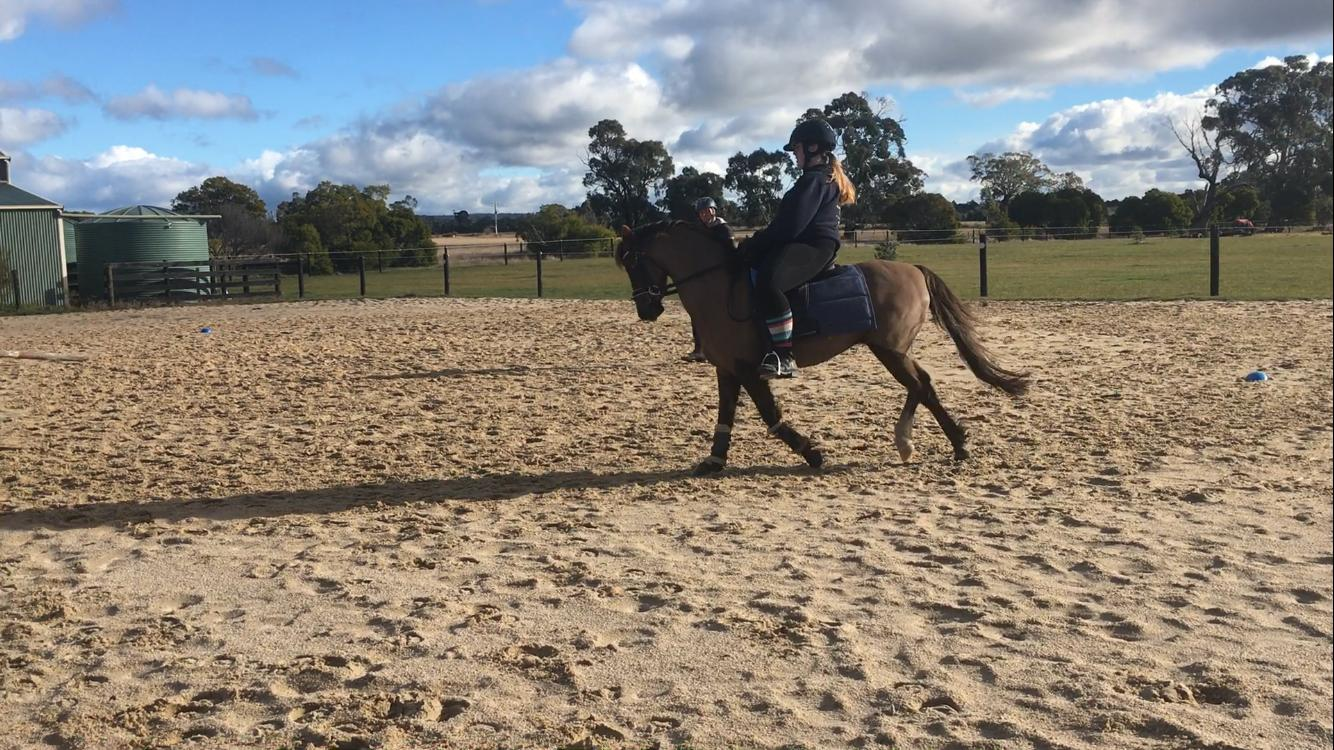 Royal quality chestnut gelding