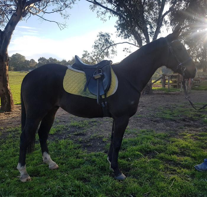 Uncomplicated Performance Potential Warmblood