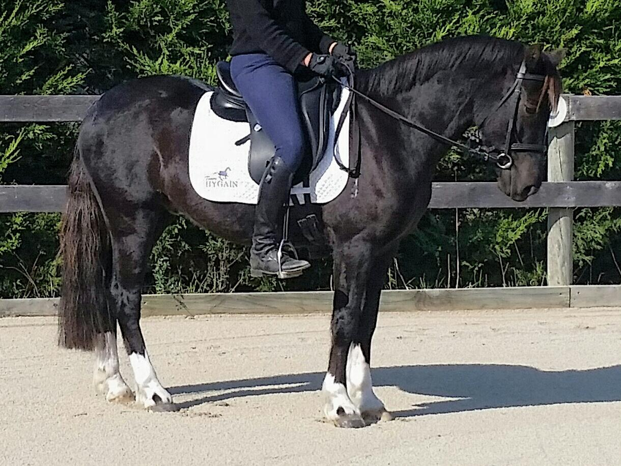 Exceptional welsh cob gelding