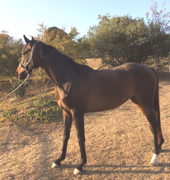 Arabian Warmblood filly
