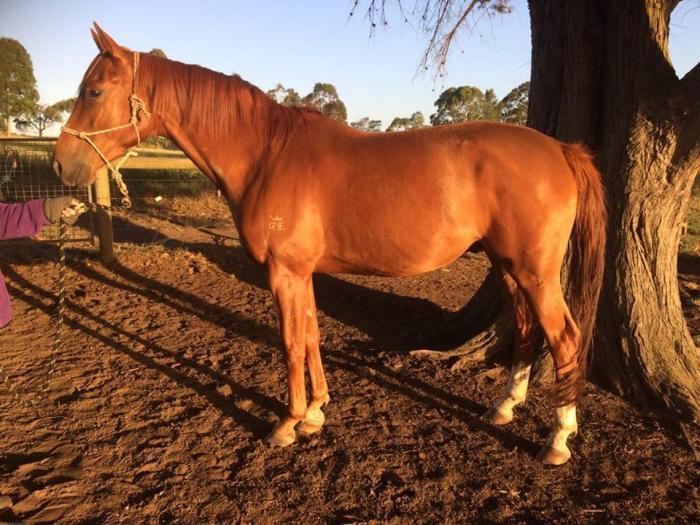 2012 gelding by Rockstar (NZ)