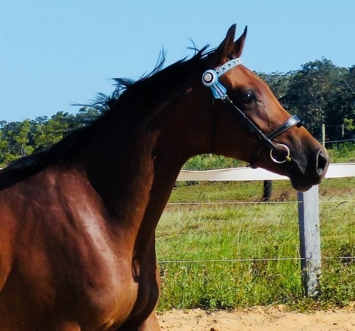 Warmblood x Arabian Riding Pony