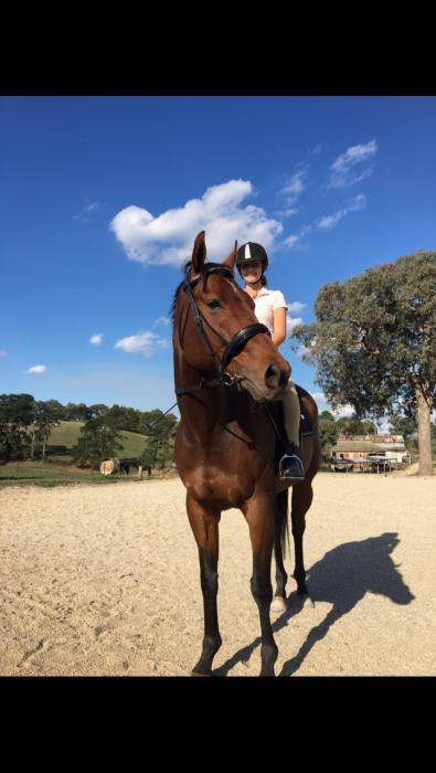 16.2 bay TB gelding perfect 2nd horse