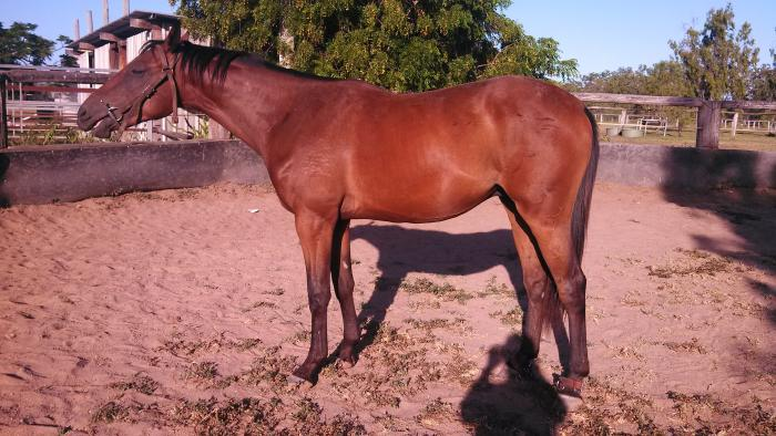 Realm Of Fire Gelding