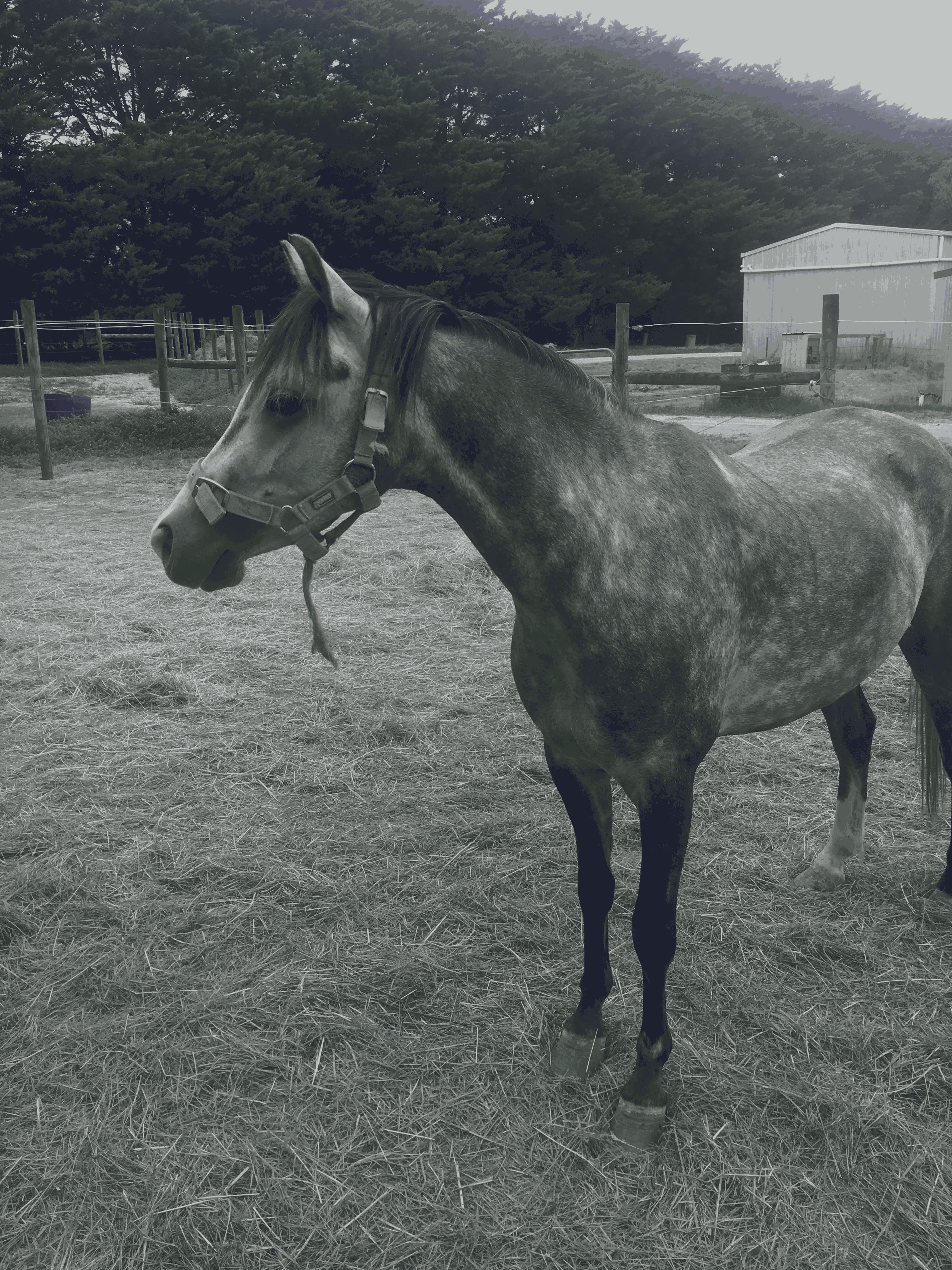 Koorana ambiance. Australian pony