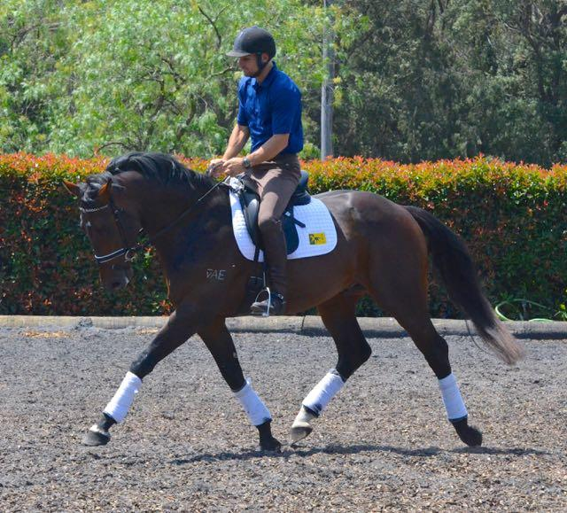 Outstanding gelding by Contenda - Dressage or Jump