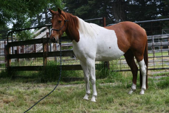 *Potential Plus*.. 4 yr old, 15.2, Paint Gelding
