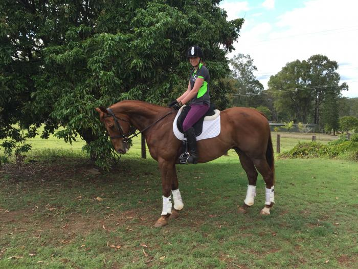 URGENT SALE - 16.1hh Thoroughbred Gelding