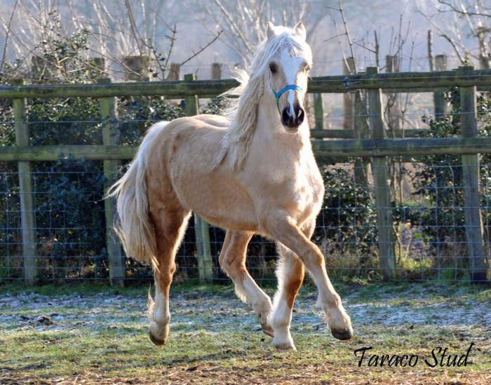 Breathtaking palomino welsh section D colt (UK)