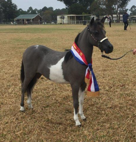 Miniature Horse Yearling Filly