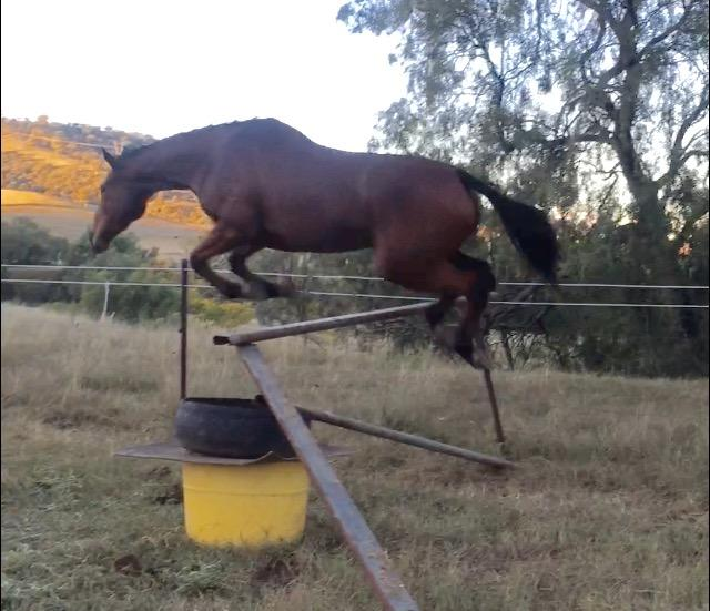 Serious showjumping potential