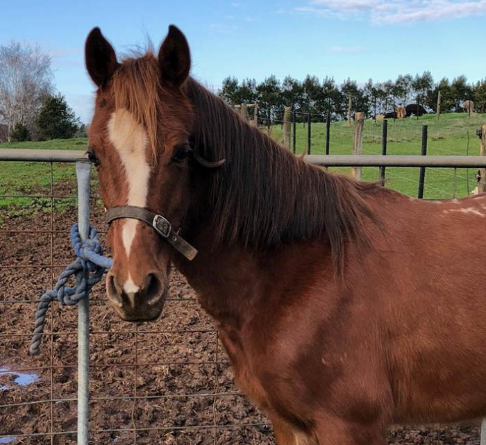 Arabian Pony Mare