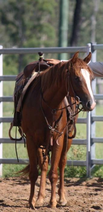 competitive quarter horse