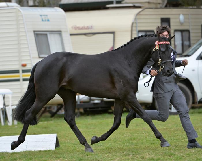 Black 15hh dressage moving riding pony stallion