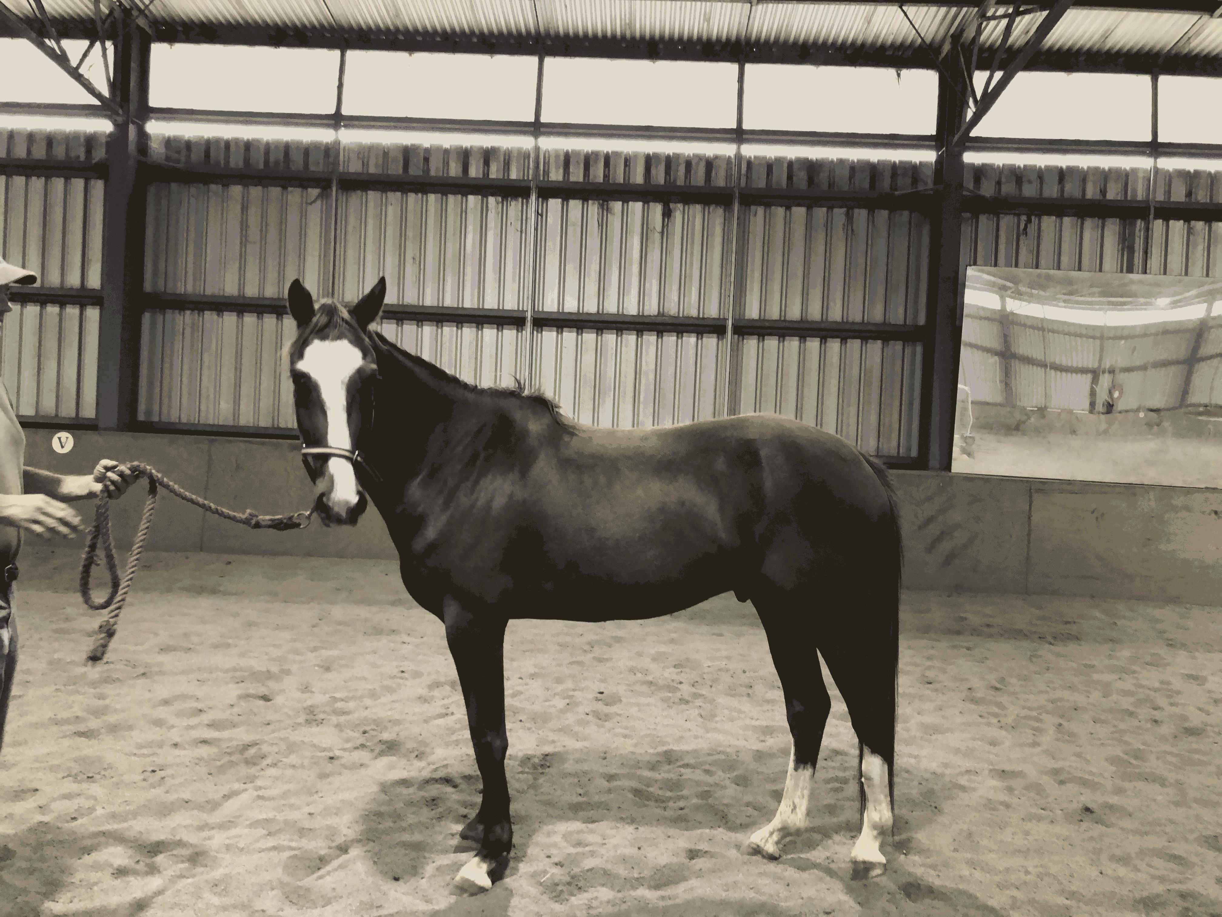 Paint Quarter Horse