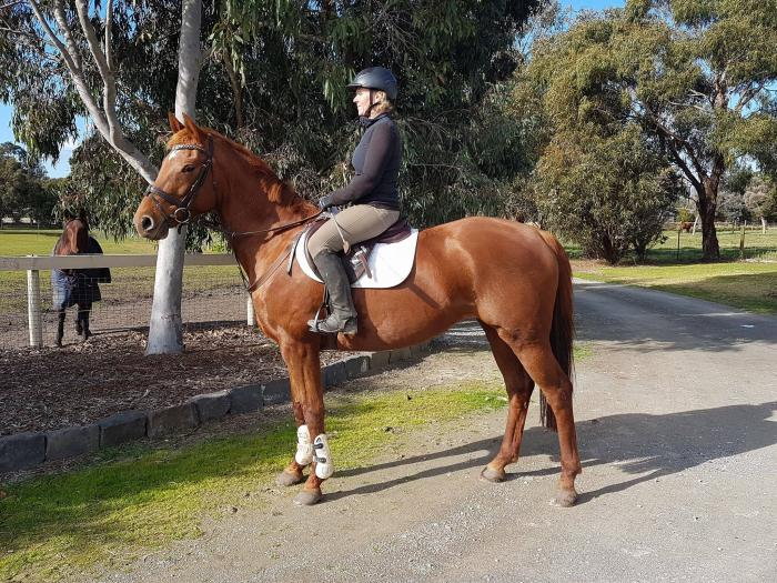 Great Temperament and Versatile Warmblood