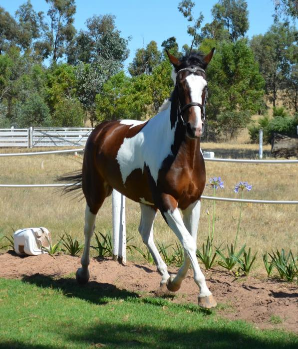 Quiet 3yr Pinto Warm-blood Filly