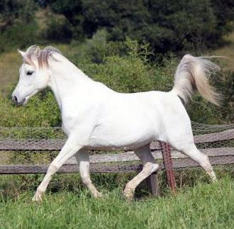 Arabian Brood Mare