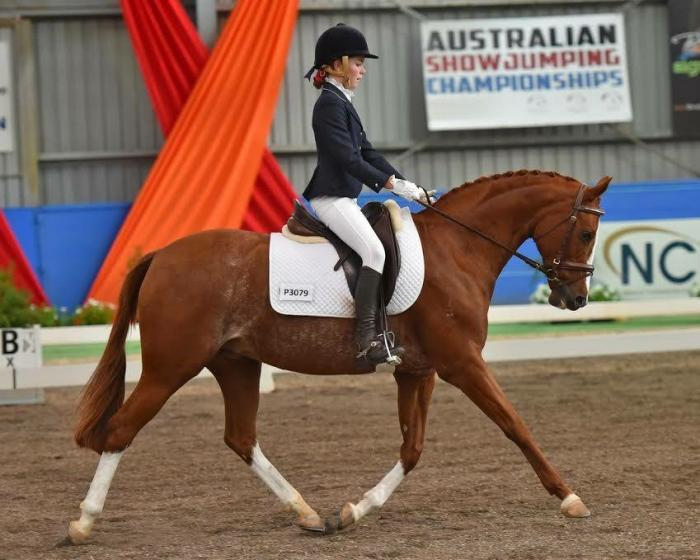 Outstanding Show/Dressage Pony Galloway