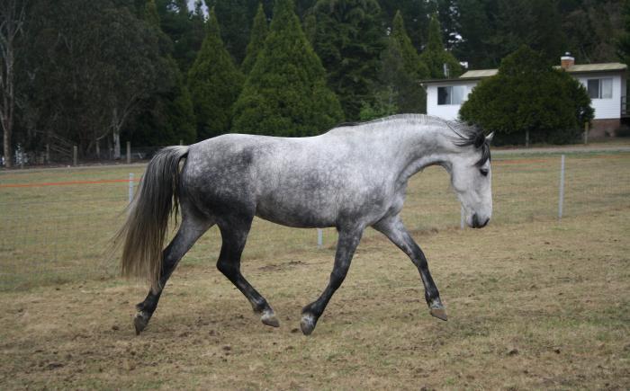 8yo First cross Spanish mare