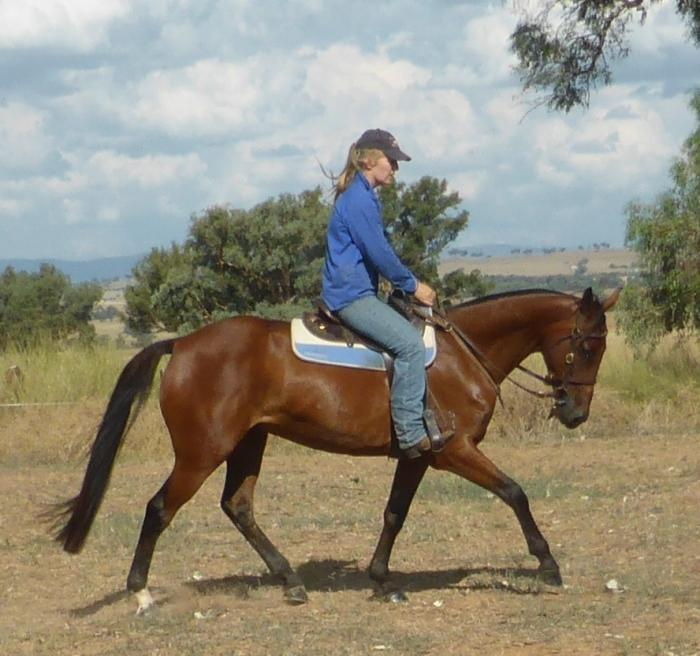 Stunning Registered Stockhorse Gelding