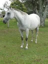 Quiet Grey TB Mare & Grey Paintbred Foal