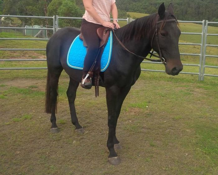 Brown Standy Gelding, very quiet and easy going
