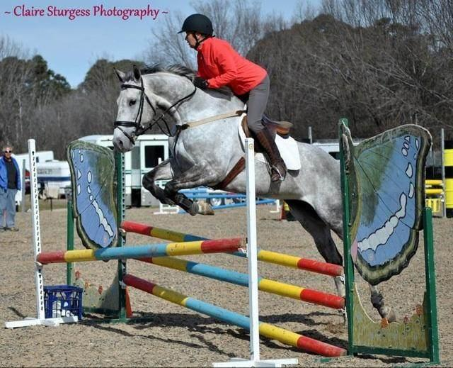 Talented Sir Ivor Showjumping Mare