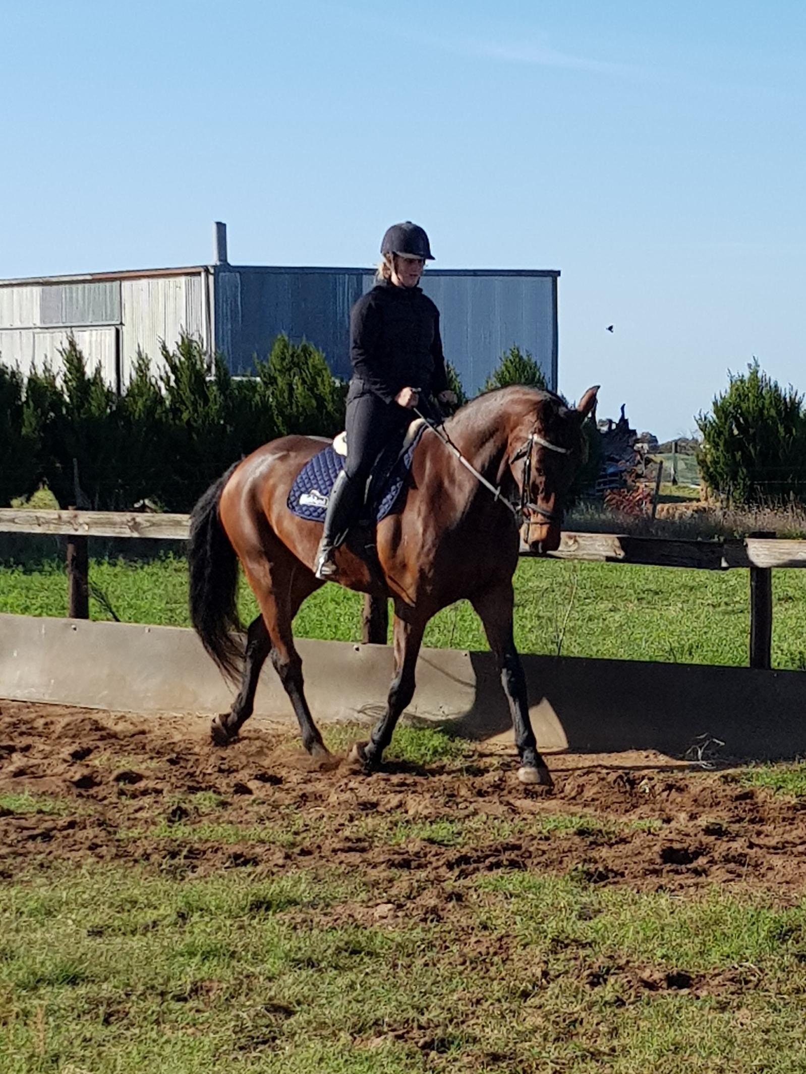 Quiet Warmblood Gelding