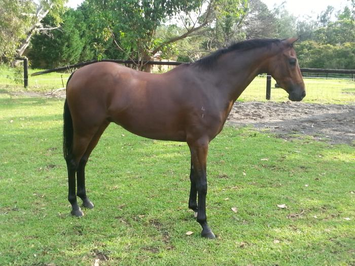 Bargain Buy Riding Pony Gelding