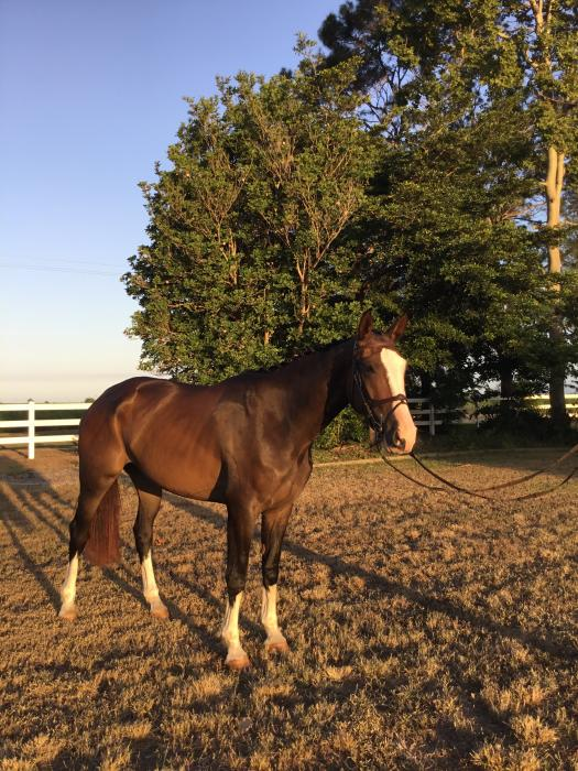 4 yr old warmblood  mare by Kaptain