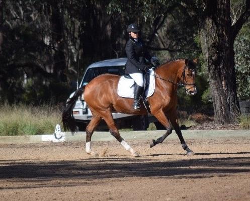 15yr 16hh Warmblood/TB mare