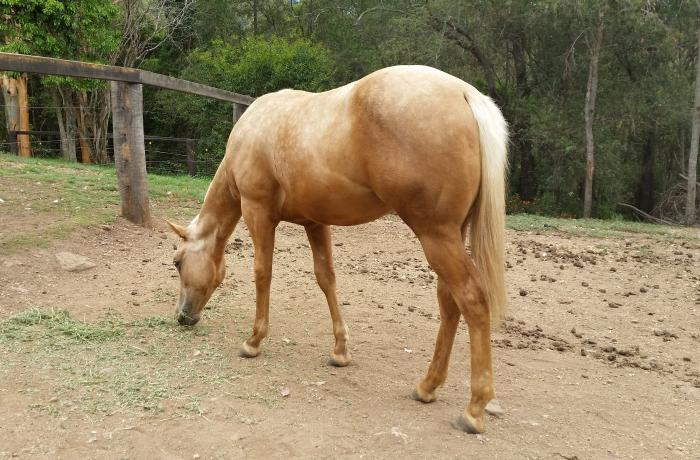 Palomino Yearling Quarter Horse Filly