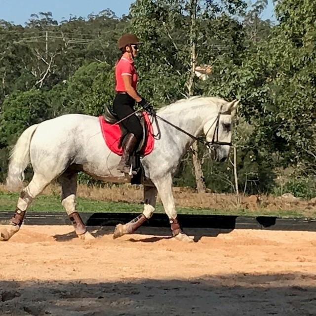 Percheron x Gelding 15.2hh -  Sale or Lease