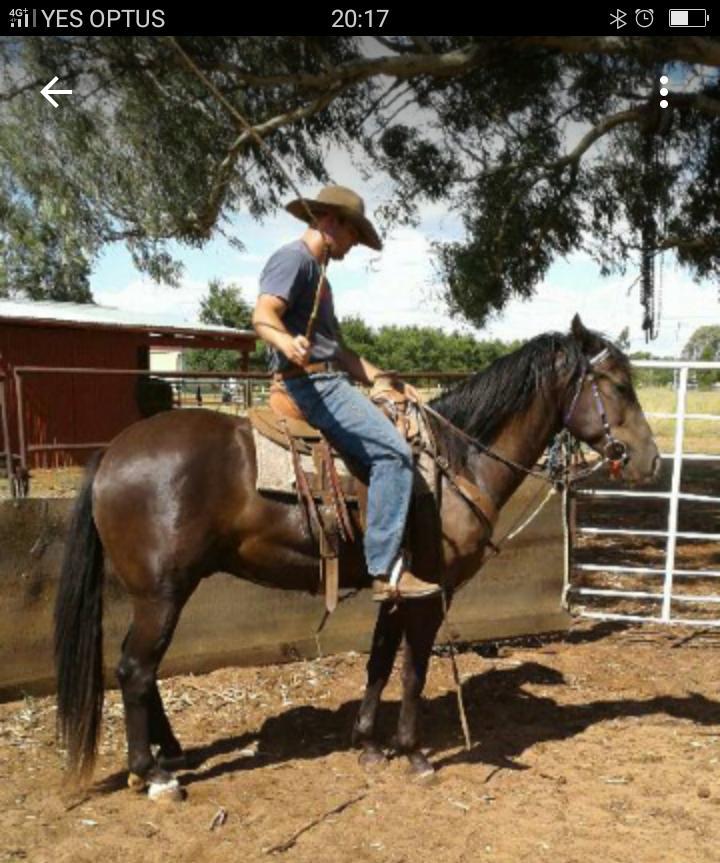 Quarter horse x clydie