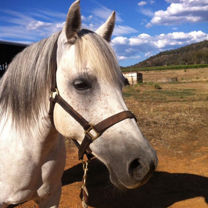 Beautiful Arabian Pony- pony club or dressage!