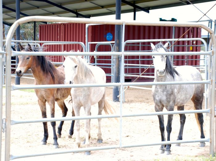 Great Little Filly's for sale