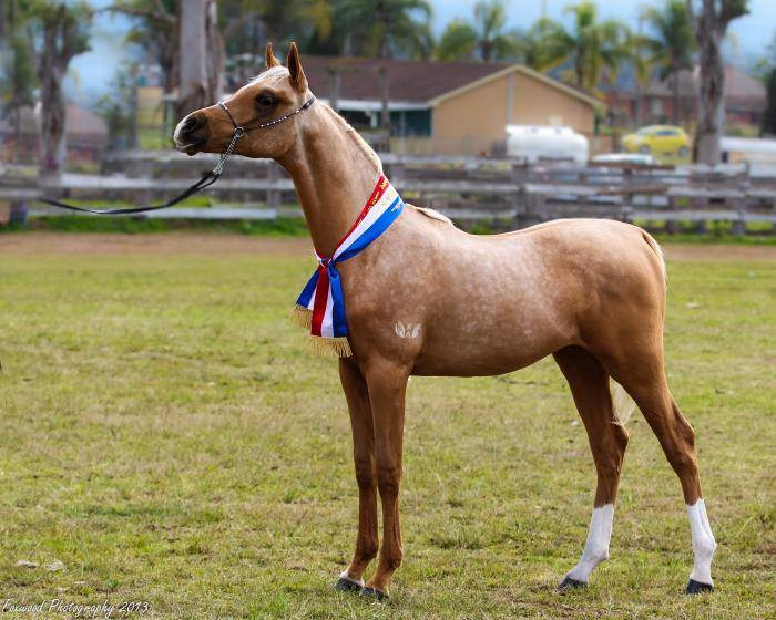 Stunning 3yr old Palomino Partbred Arabian Gelding