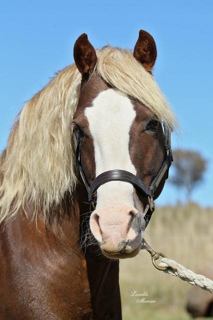 Sec C Welsh Cob Stallion