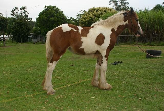 F2 Drum Filly Bay & White Tobiano IDHA/AGHS