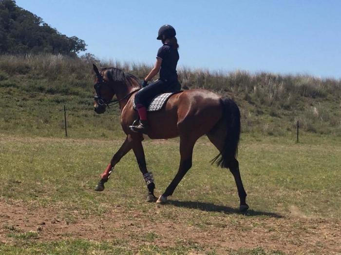 Arabian stockhorse 3yo gelding reg ASHA