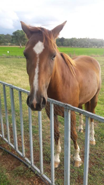 Registered Stock Horse Gelding