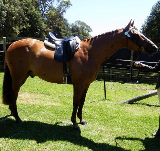 15hh, 10yo Show Hunter Type Gelding